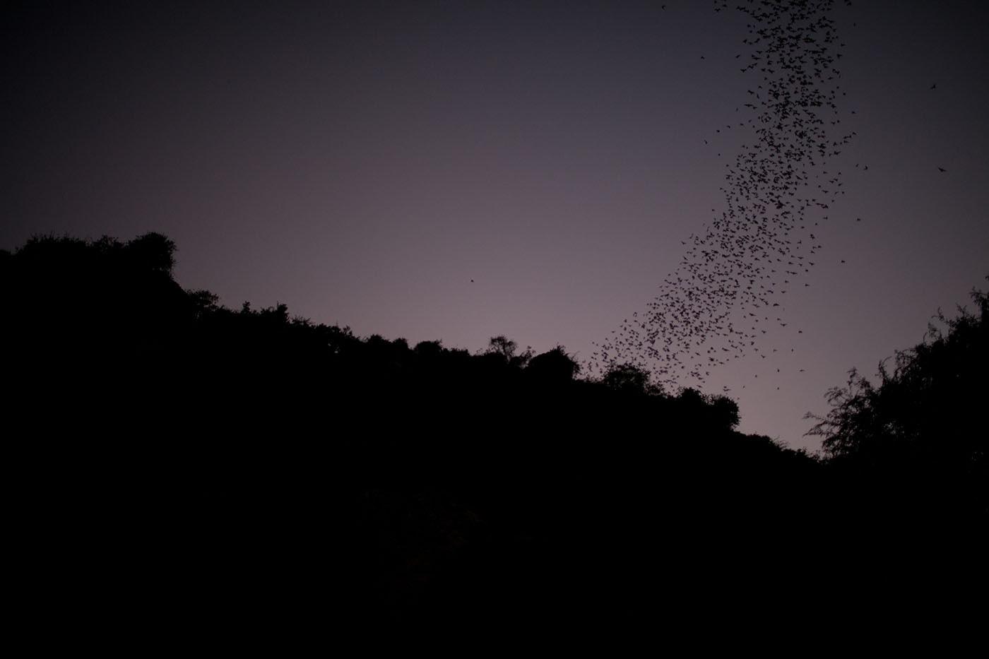 Bats flying from the killing caves in Battambang, Cambodia