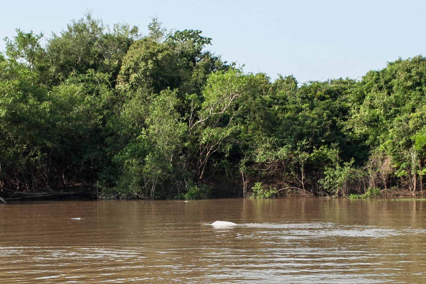 Dolphin - The Pampas in the Bolivian Amazon