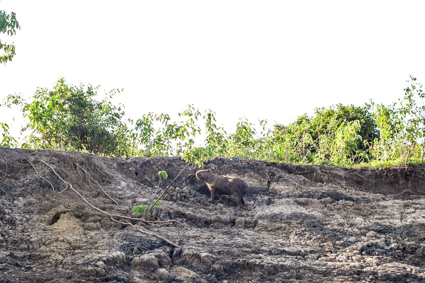 Capybara - The Pampas in the Bolivian Amazon