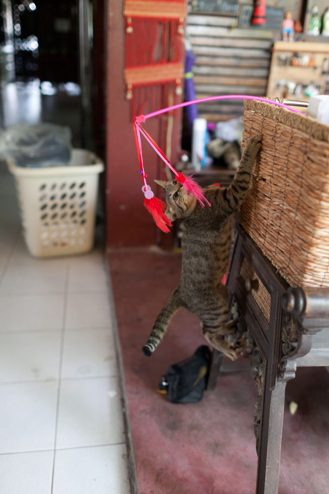 Lek the cat at Deejai Backpackers in Chiang Mai, Thailand