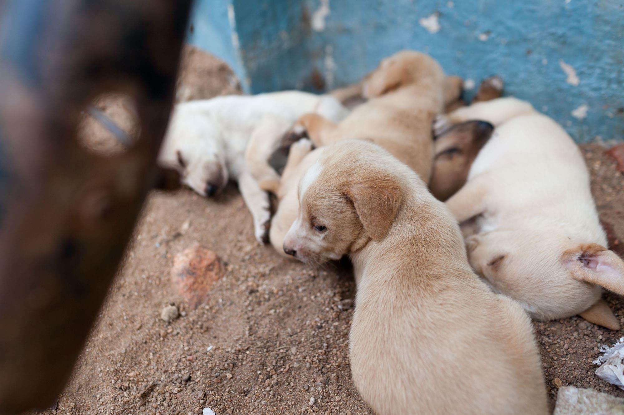 Stray puppies in Hampi, India.