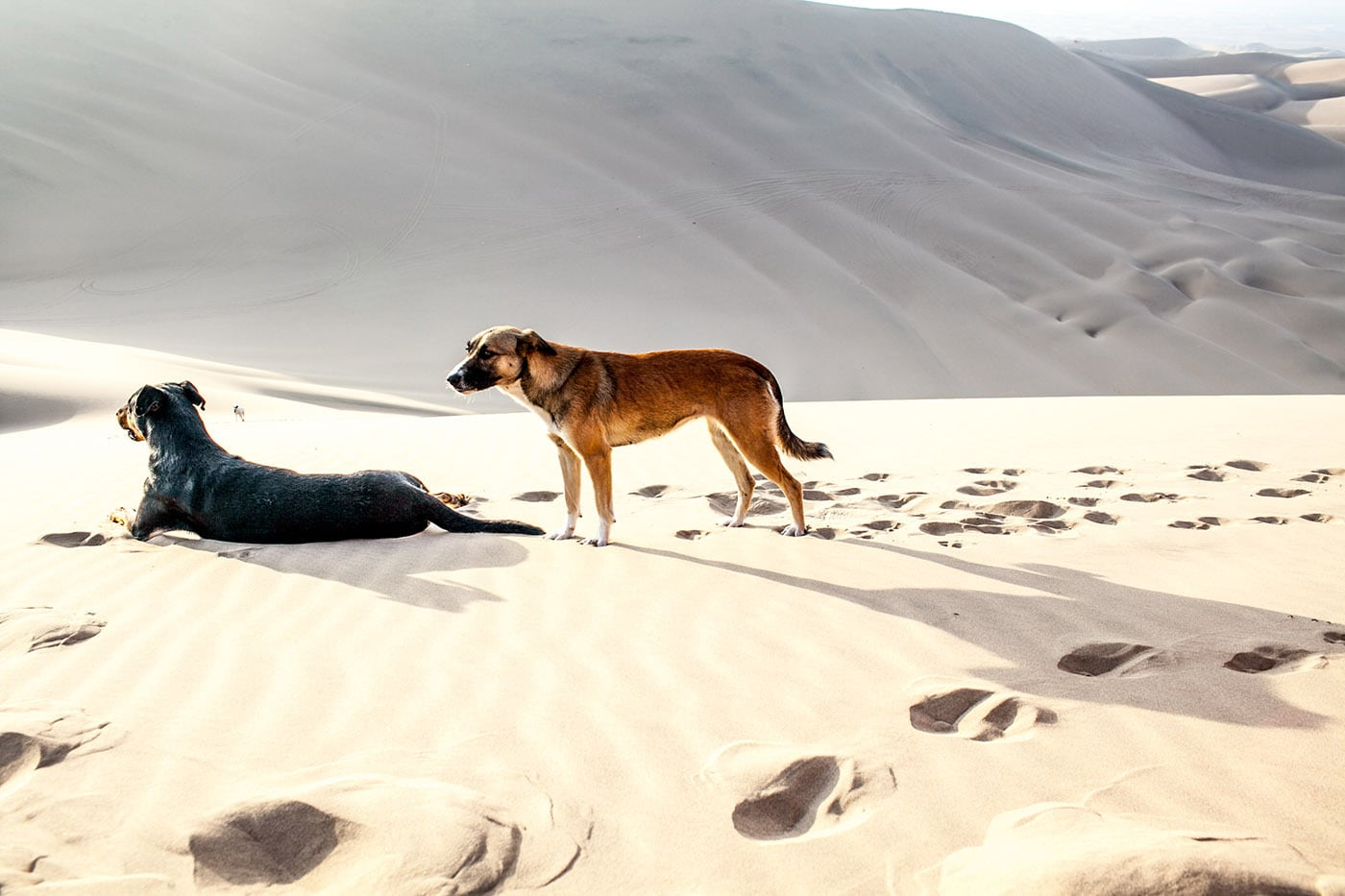 Dogs in the sand dunes in Huacachina, Peru