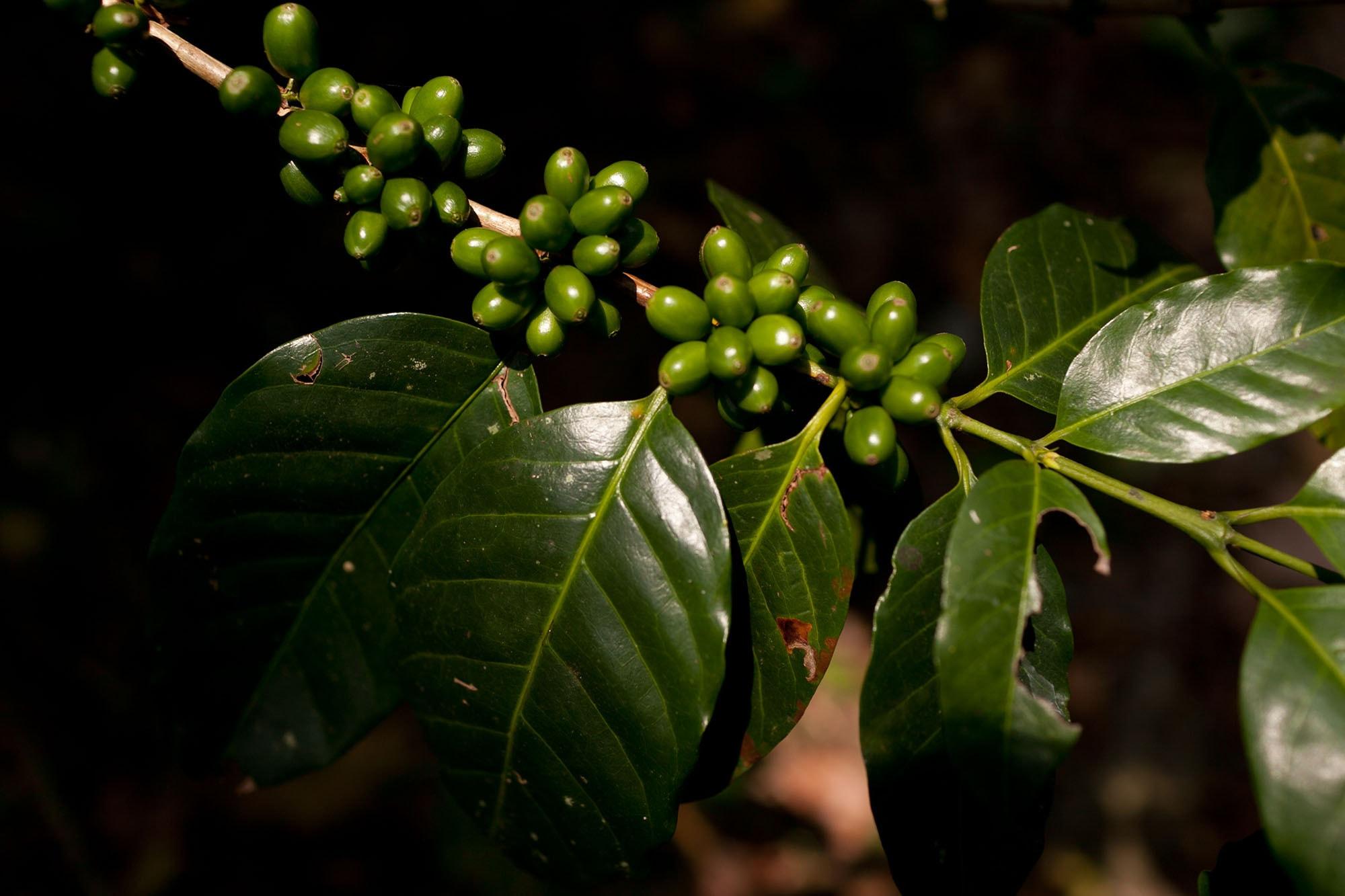 El Paraiso Coffee Finca in Lago de Yojoa, Honduras