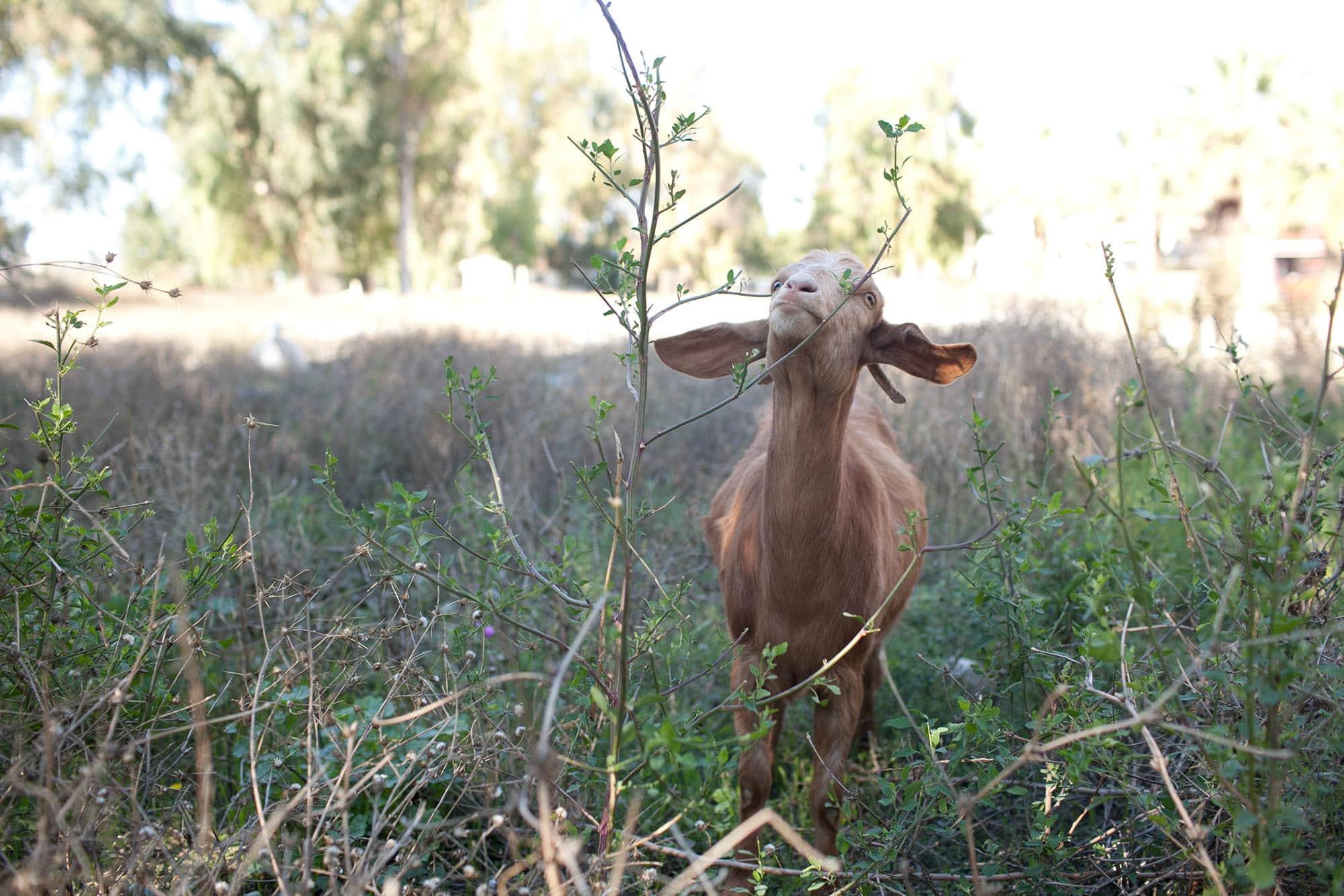 Goat in Selcuk Turkey