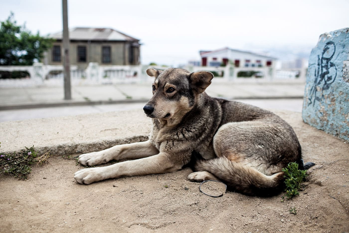 Street dog in Valparaiso, Chile